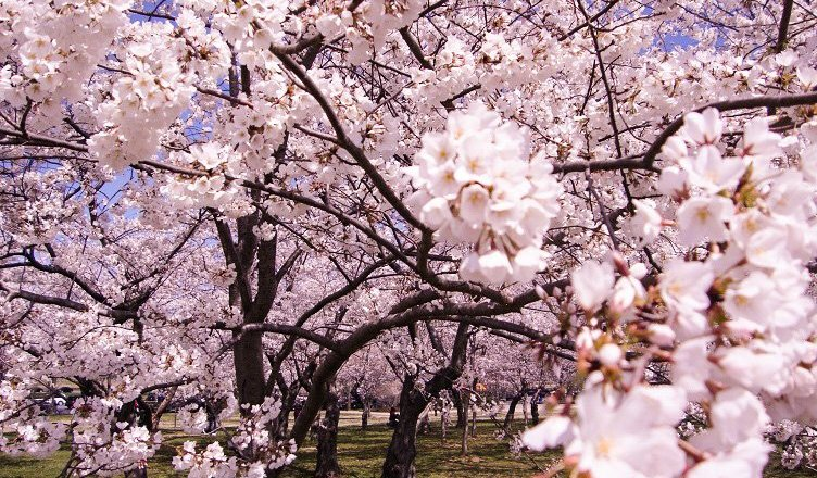 cherry blossom festival in dc