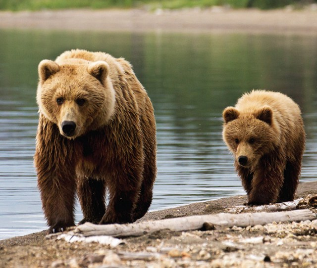 Grizzly Bear Management Program
