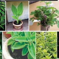 SOME IMPORTANT MEDICINAL  PLANTS OF GOA