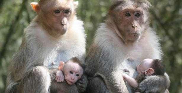 Goa government to deploy monkey slayer tribe to control menace