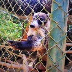 White-nosed coati reaching outside of her cage