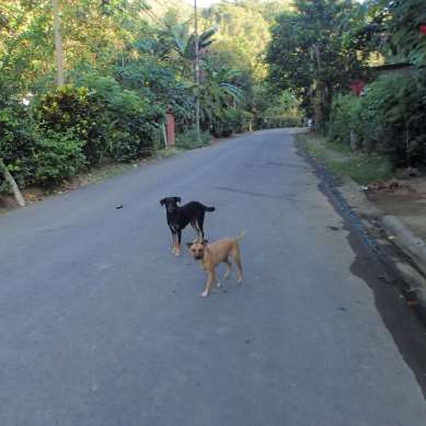 2 dogs in the street in Costa Rica