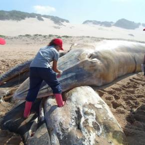 Volunteer inspecting a beached whale