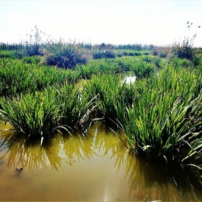 Green filters in wetlands in Spain
