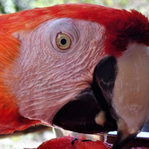 Close up photo of a macaw
