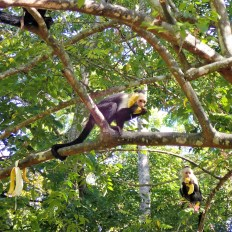 Capuchin monkeys eating bananas in a tree