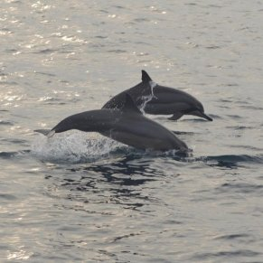 If you're lucky, you'll see dolphins swimming in Sri Lanka!
