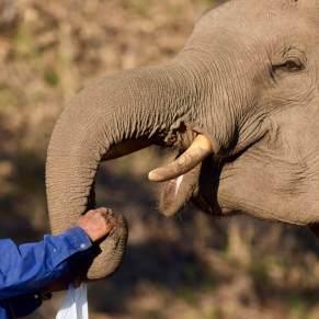 Mahout feeding his elephant in Thailand