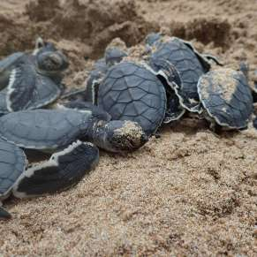 Green Sea Turtle Hatchlings in Sri Lanka