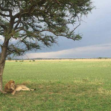 Lion laying under a tree in Tanzania