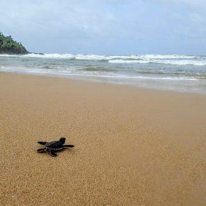 Sea turtle hatchling on beach in Sri Lanka