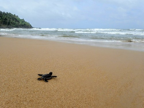 Baby sea turtle on a beach in Sri Lanka