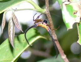 araignée Belitung Go Belitung
