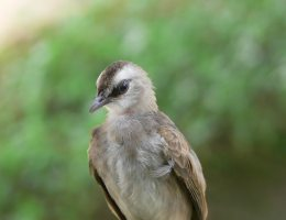 Oiseau Belitung Indonésie