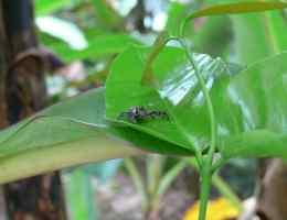 araignée Belitung Indonesie