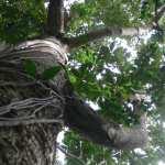 Simpor Laki Belitung Indonésie Go Belitung
