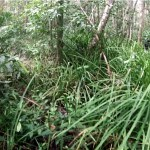 foret marecageuse Belitung Indonésie