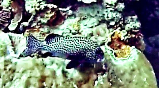 ikan krapu