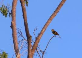 oiseau-rouge-femelle