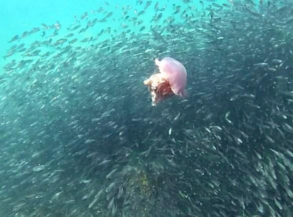 Sardines et meduse Belitung Indonesie