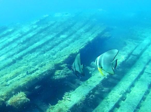 Scallaire sur epave Belitung Indonesie