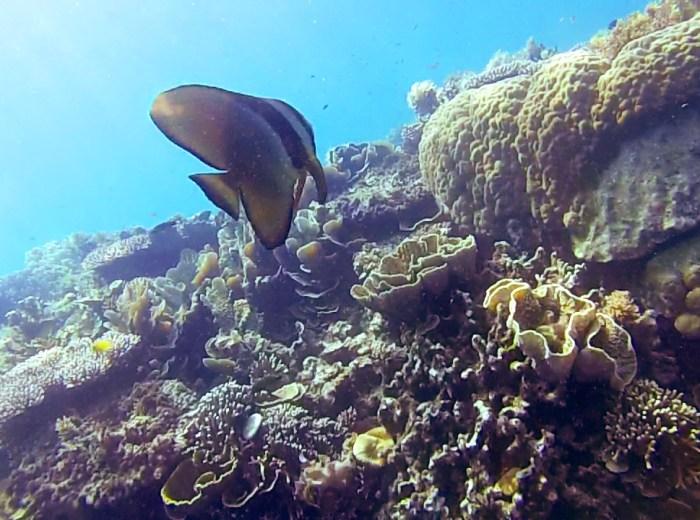 Scallaire sur epave Selat Nasik Belitung Indonesie