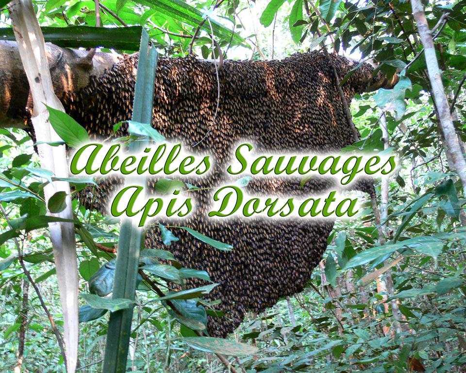Abeilles-sauvages-GoBelitung Belitung Indonesia