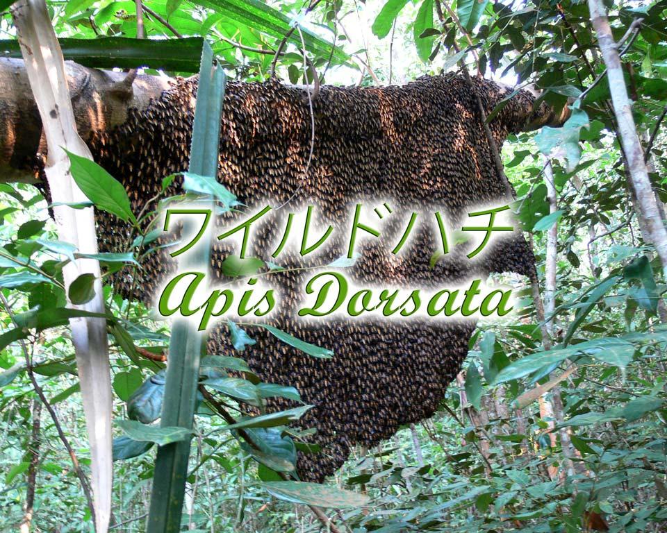 abeilles-sauvages-jp GoBelitung Belitung Indonesia