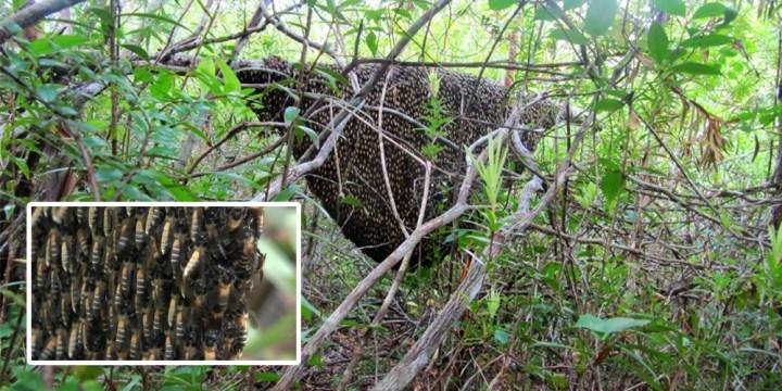 abeilles sauvages apis dorsata Belitung Island Indonesia gobelitung