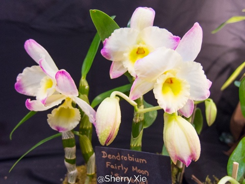 Southern Ontario Orchid Show - Dendrobium Fairly Moon Sweetie