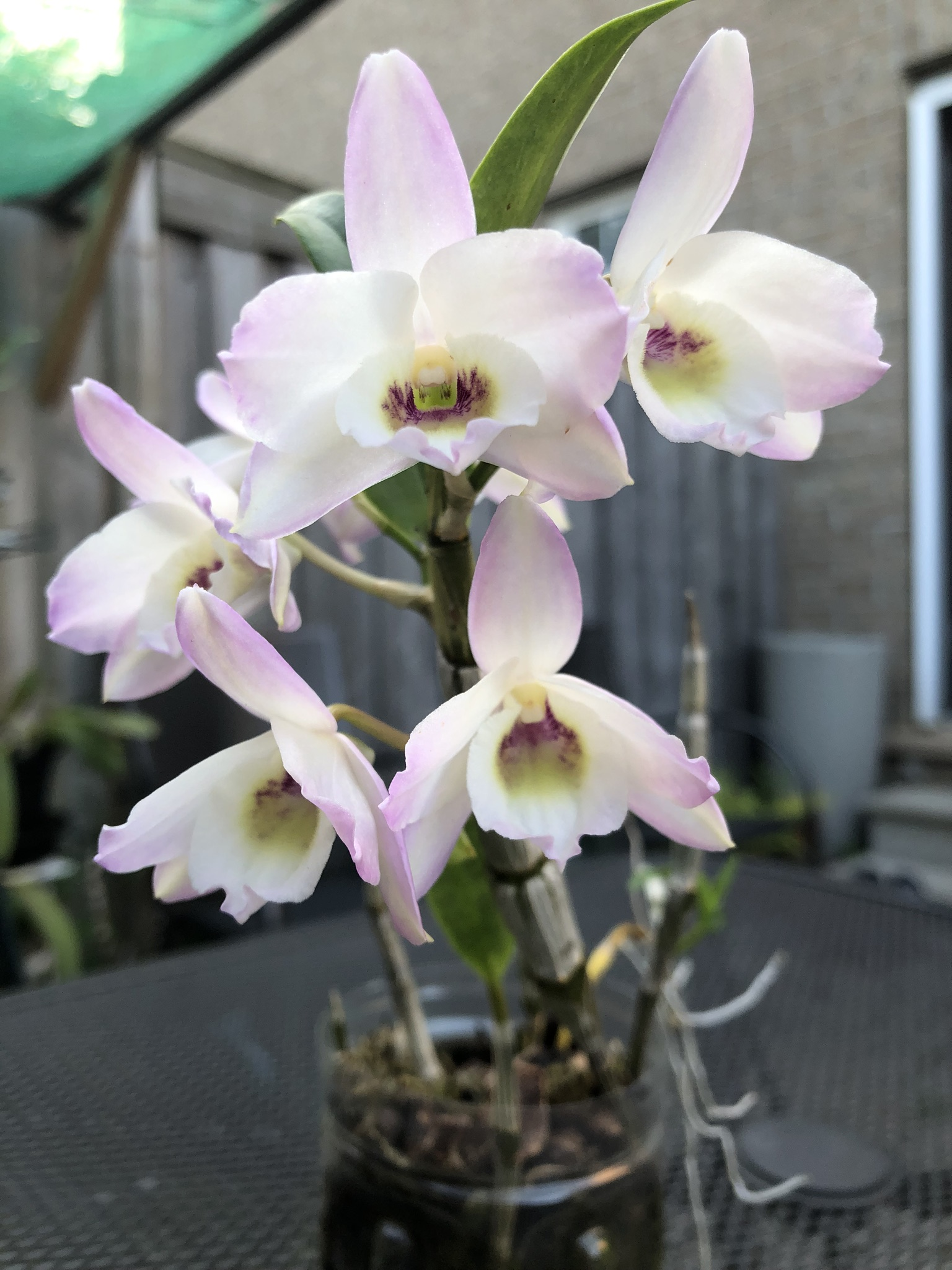 Blooming Dendrobium Orchids