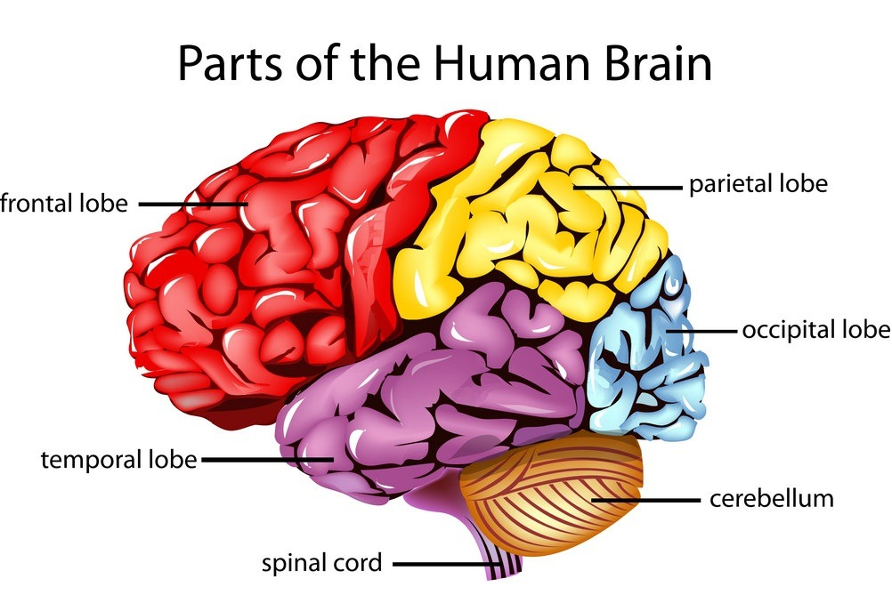 Parts of human brain