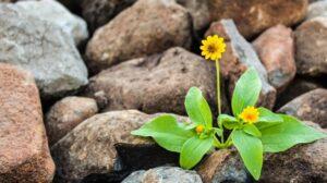 Yellow flower growing in rocks