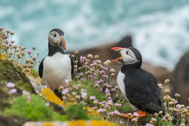 Puffins Interacting Depicting Feedback