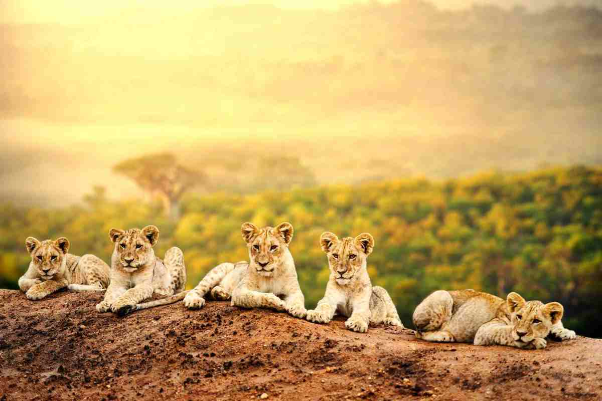 Close up of lion cubs laying together waiting upon mother.