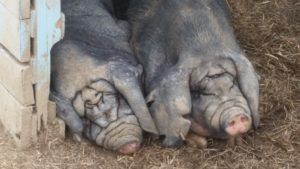 Meishan Pigs Napping