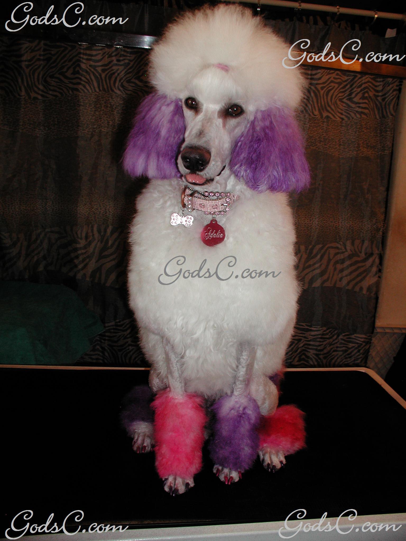Standard Poodle Creative Groom Gods Creatures