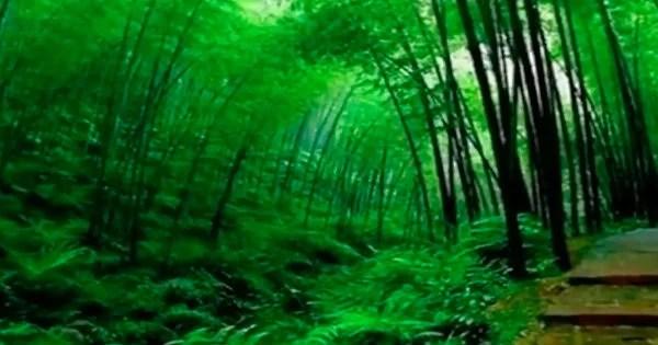 albero di bambù