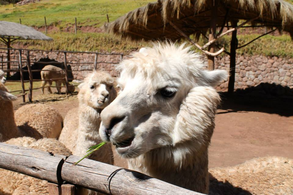 AwanaKancha_Cusco