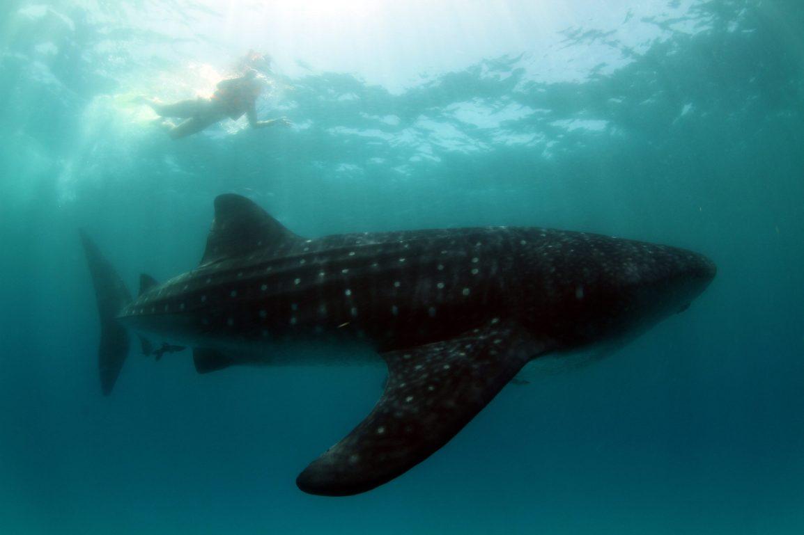 JWCM_Cancun_WhaleSharks