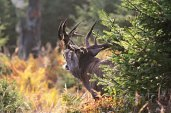 Deer of Sumava