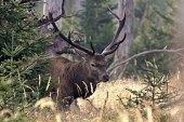 Deer of Sumava