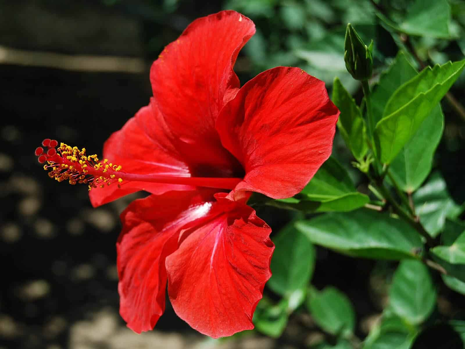 Hibiscus Health Beauty Benefits Amazing Bebefits For Skin Hair Gofooddy