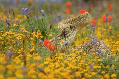Crotalus scutulatus, Mojave Rattlesnake