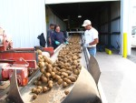 Potato shed crew hand-sorting chipping potatoes from field debris
