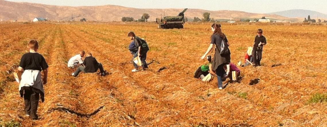 Future Farmers Digging Potatoes?