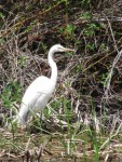 A white egret in a pond on the Running Y Ranch, outside of Klamath Falls, OR.