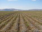 A potato field on the Tulelake National Wildlife Refuge that is ready for harvest.