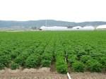 A chipping potato field at Gold Dust Potato Processors' Malin, Oregon, facility taken July 2nd, 2013.