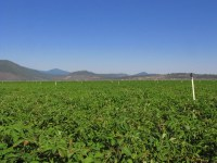A chipping potato field on the Running Y Ranch.